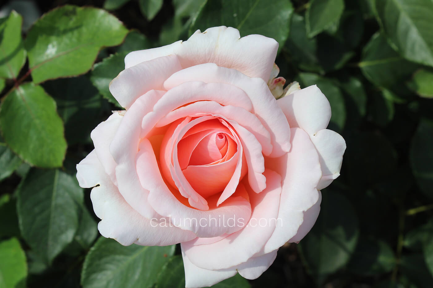 A beautiful pink/white rose in the middle of the picture, surrounded by green leaves.